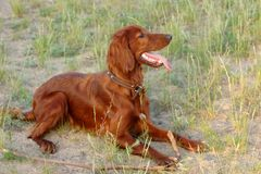 Irish Red Setter Stock Photography
