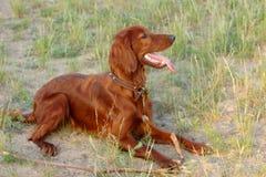 Irish Red Setter. Close up of Irish Red Setter dog lying on ground, panting Stock Photography