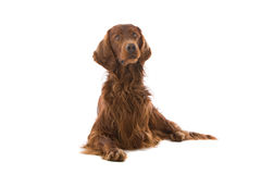 Irish Red Setter Royalty Free Stock Image