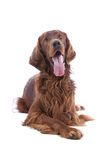 Irish Red Setter Stock Photo