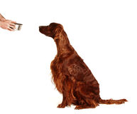 Irish Red Setter dog with the bowl of water Royalty Free Stock Photo