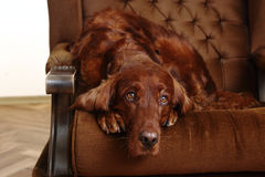 Irish Red Setter Royalty Free Stock Images