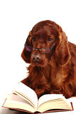 Irish Red Setter Dog In Glasses Royalty Free Stock Photo