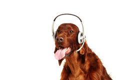 Irish Red Setter dog  with headphones Royalty Free Stock Photography