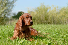 Irish red setter Stock Image