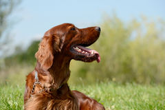 Irish red setter Royalty Free Stock Photo