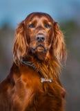 Irish Red Setter. Portrait of dog. Irish Red Setter stock photo