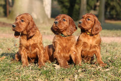 Irish Red Setter Puppies in nature Stock Photos