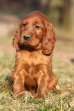 Irish Red Setter Puppy in nature