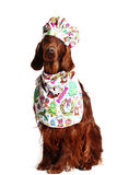 Irish Red Setter dog in the culinary hat Royalty Free Stock Image