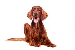 Irish Red Setter on white background Stock Photo