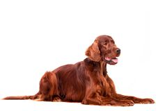 Irish Red Setter on white background Royalty Free Stock Image