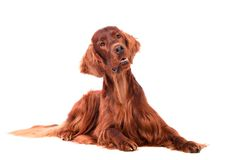 Irish Red Setter on white background Royalty Free Stock Images