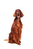 Irish Red Setter on white background Royalty Free Stock Photography