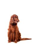 Irish Red Setter on white background Stock Photography