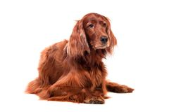 Irish Red Setter on white background Stock Images