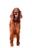 Irish Red Setter on white background Stock Image