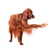 Irish Red Setter on white background Royalty Free Stock Photos