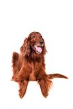 Irish Red Setter on white background Stock Photos