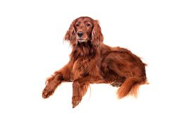 Irish Red Setter on white background Royalty Free Stock Photo