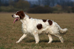 Irish red and white setter Stock Photo