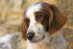 Irish red and white setter portrait Stock Images