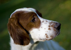 Irish red and white setter portrait Stock Photos