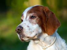 Irish red and white setter portrait. Portrait of a senior male Irish red and white setter royalty free stock photos