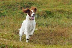 Red and white gun dog running against background green grass royalty free stock image