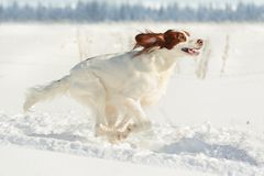Red and white gun dog running fast against white snow. Irish red and white setter running fast against white snow, outdoors, horizontal stock photos