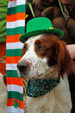 Irish red and white setter at the St. Patrick`s Day Parade in the park Sokolniki in Moscow Royalty Free Stock Image
