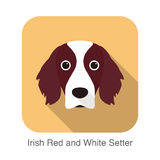 Irish red and white setter terrier dog face portrait Royalty Free Stock Photography