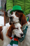 Irish red and white setters at the St. Patrick`s Day Parade Stock Photography