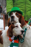 Irish red and white setters at the St. Patrick`s Day Parade in the park Sokolniki in Moscow Stock Photo