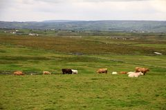 Irish rural landscape with cows Royalty Free Stock Images