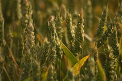 Irish rye growing up. All vegetation are growing up, typical plant for irish plantation and farm Stock Images
