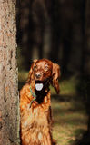 irish seter dog on a walk Royalty Free Stock Photo