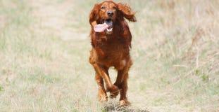 Irish Setter. A running Irish setter dog royalty free stock image