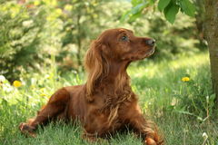 Irish Setter. Born in the village Stock Images