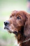 Irish Setter. Gun dog waiting at a field trial Stock Photo