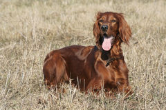 Irish setter 2 Royalty Free Stock Images