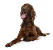 Irish Setter, 2 years old, lying Royalty Free Stock Photo
