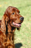 Irish Setter. A beautiful red Irish Setter dog head portrait with cute expression in the face watching other dogs in the park Stock Image