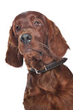 Irish setter. Hound in front of a white background Stock Photos