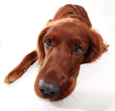 Irish Setter Stock Photos