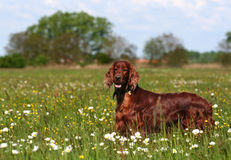 Irish Setter. Standing in the meadow Stock Photography