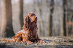 Irish setter. In the autumn leaves Royalty Free Stock Image