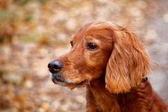 Irish setter. At the autumn stroll Royalty Free Stock Photography