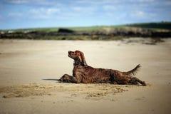 Irish Setter at the beach Royalty Free Stock Photos