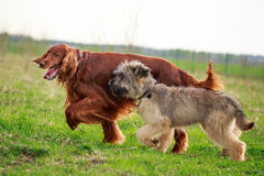 Irish setter and briard. Red irish setter and briard Stock Photo